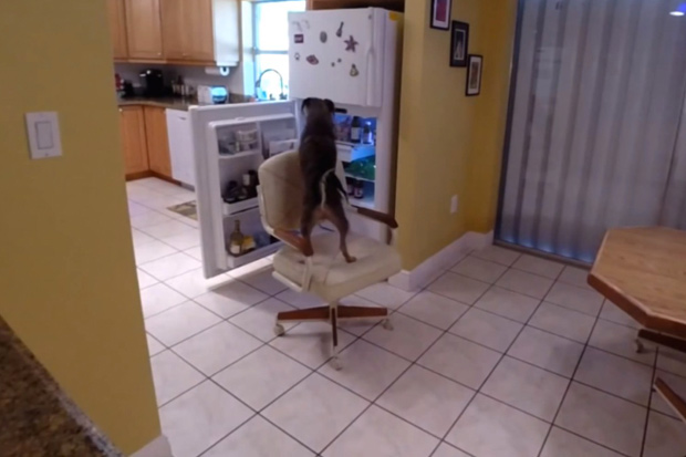 Dog Caught Breaking Into Fridge