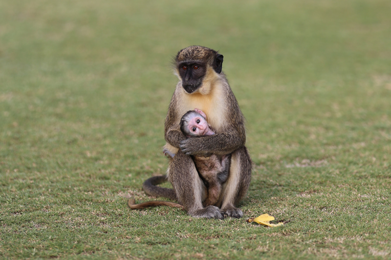 Baby monkey at Four Seasons Resort Nevis