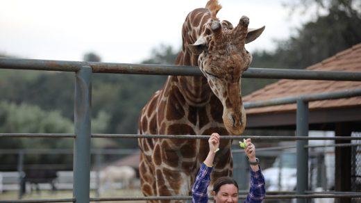 Stanley the Giraffe from Malibu Wines Safari