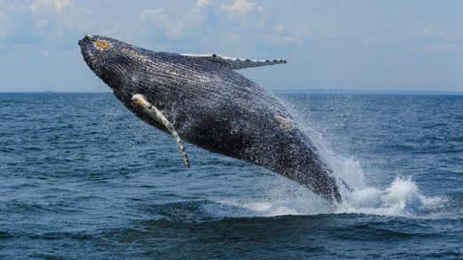 A whale breaching in New Brunswick