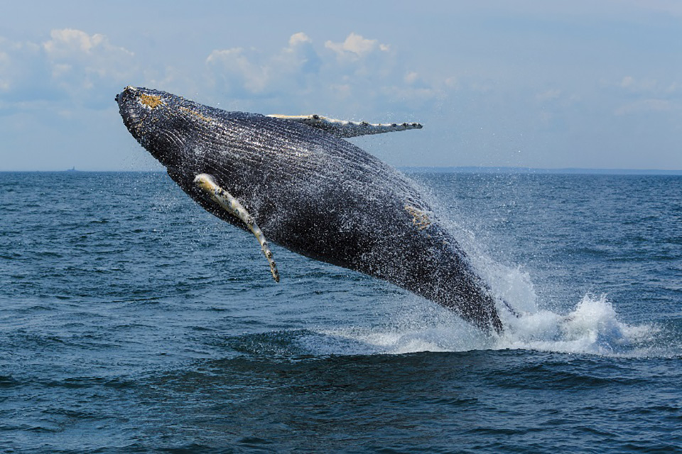A whale breaching in New Brunswick - Canadian Maritimes
