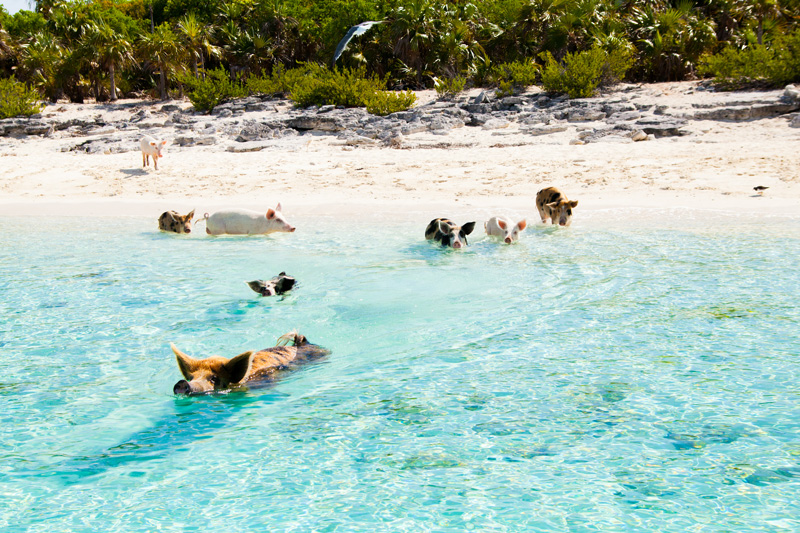 Swimming with pigs in the Caribbean